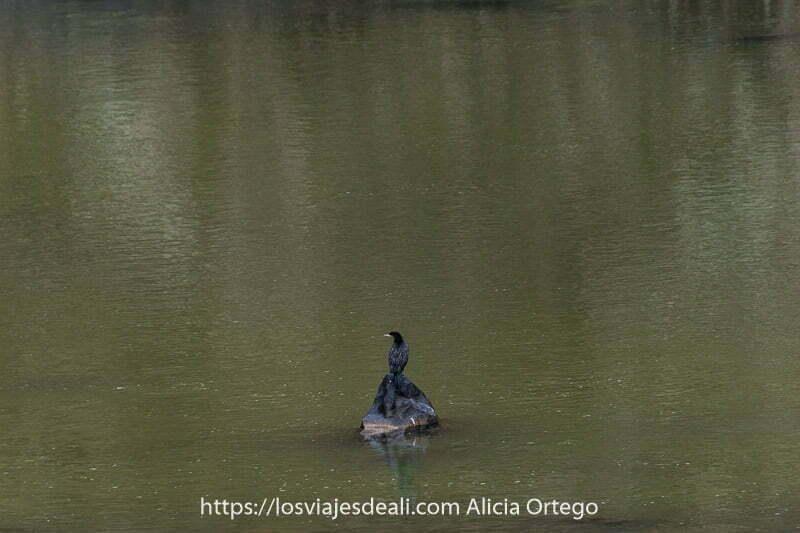 cormorán sobre una roca en forma de triángulo rodeado de agua fauna de mongolia