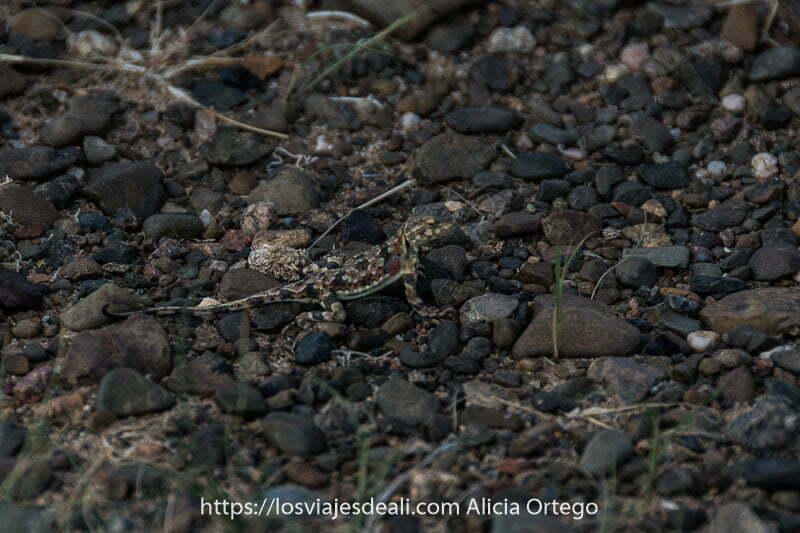 geko de colores que imitan al suelo de guijarros grises y rojos de tipo volcánico en Mongolia