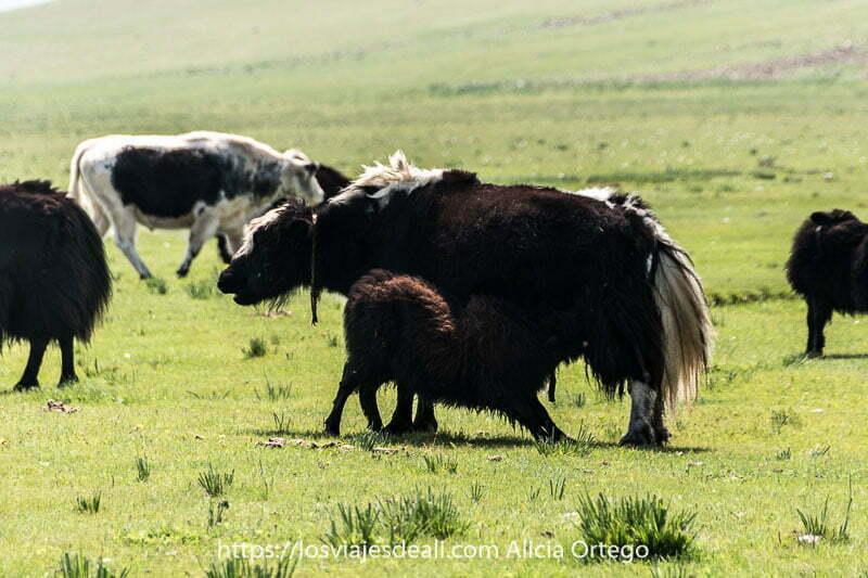 cruce de yak y vaca amamantando a una cría en un prado en Mongolia